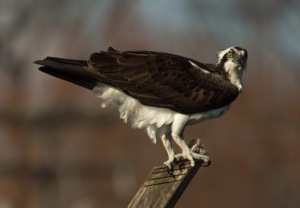 Osprey Almshouse Creek 04 04 15 007
