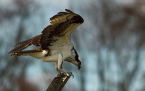 Osprey Almshouse Creek 04 04 15 033