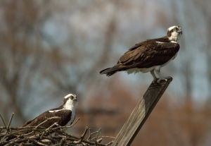 Osprey Almshouse Creek 04 04 15 055