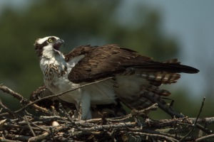 07 11 15 Ospreys at Almshouse 057