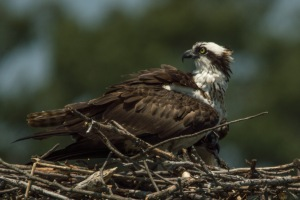 07 11 15 Ospreys at Almshouse 178