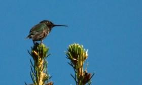 07 17 15 Hummingbird 216
